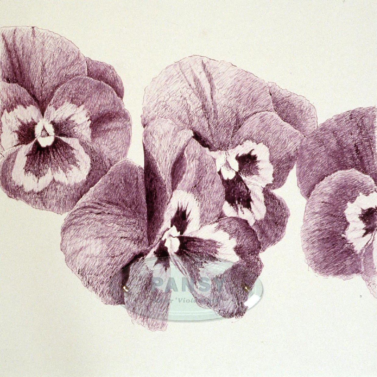 "Pansy ""Clear Violet,"" 20"" x 20"" (50.8cm x 50.8cm), ink on paper, sandblasted glass, bolts"