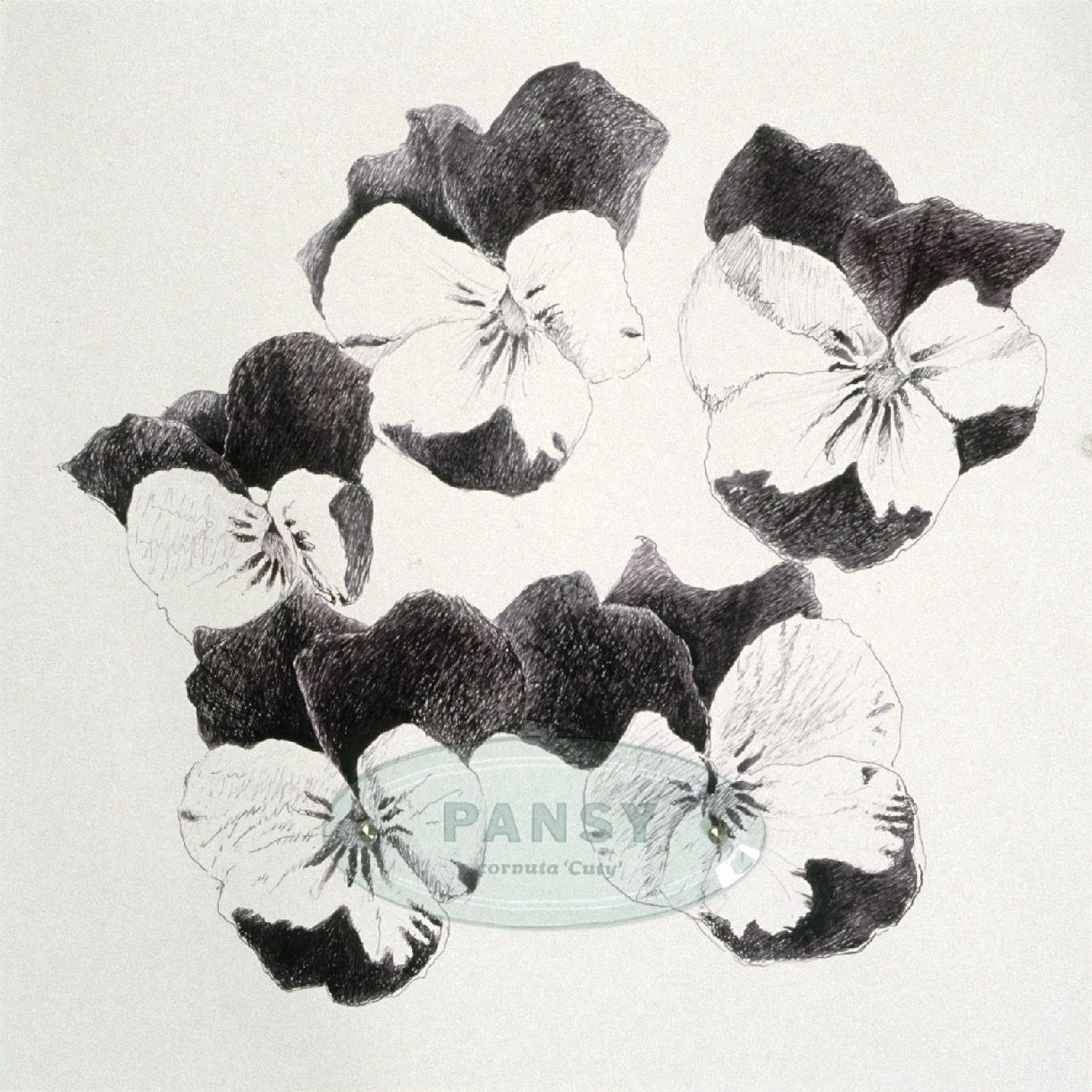 "Pansy Cornuta ""Cuty,"" 20"" x 20"" (50.8cm x 50.8cm), ink on paper, sandblasted glass, bolts"