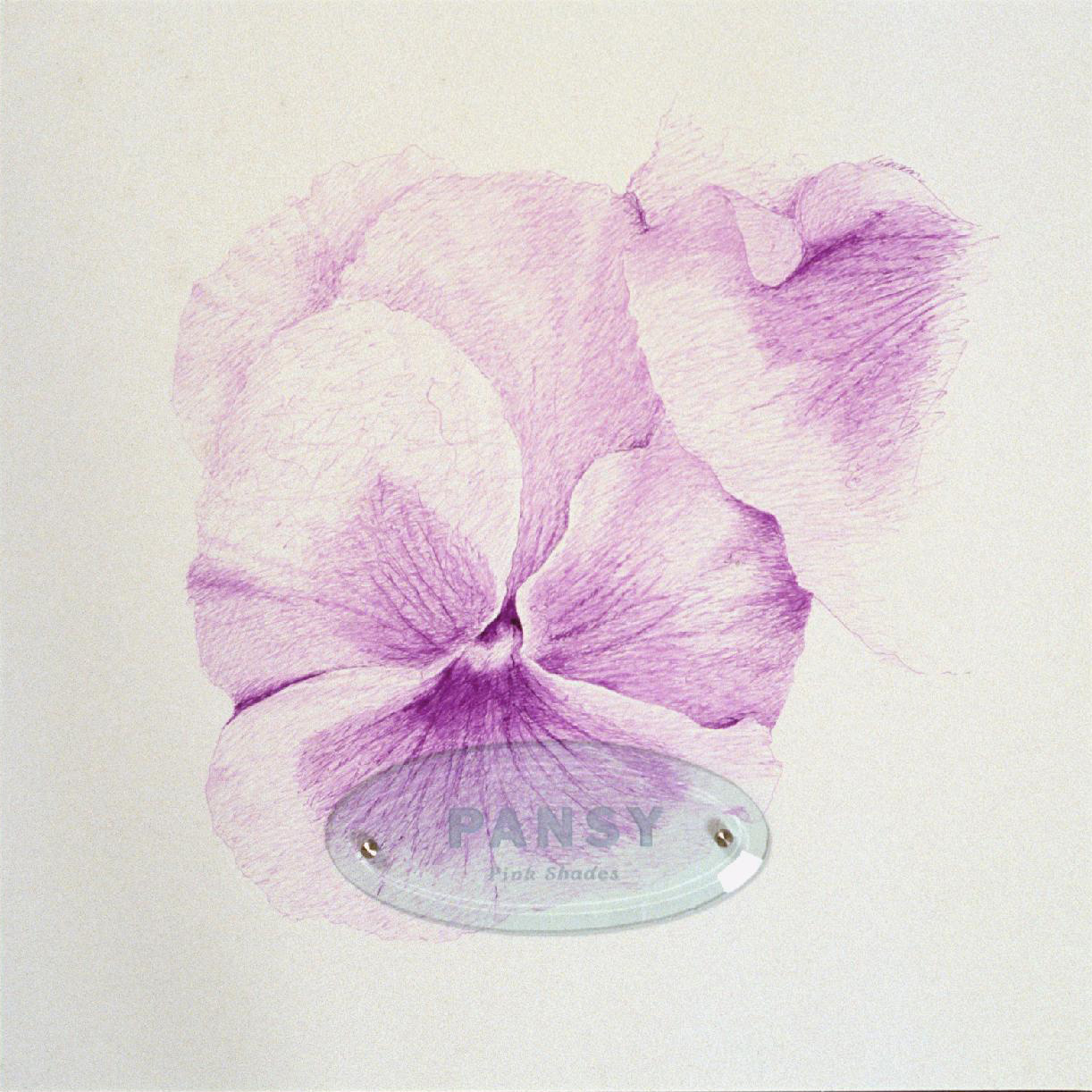 "Pansy Pink Shades, 20"" x 20"" (50.8cm x 50.8cm), ink on paper, sandblasted glass, bolts"